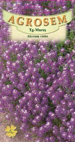 Alyssum violet Lobularia Maritima