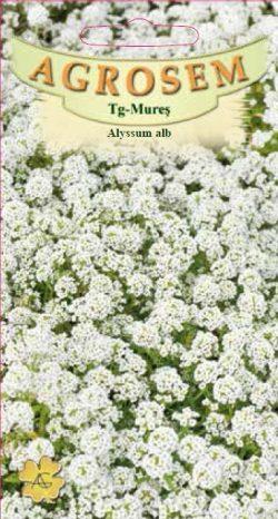 Alyssum Alb – Lobularia Maritima