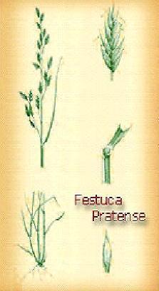 Festuca Pratensis